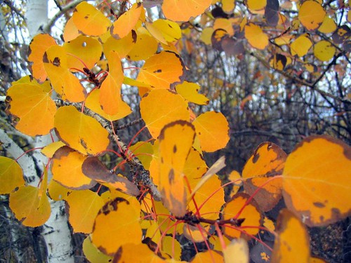 Unusual Orange Aspens by MaureenShaughnessy