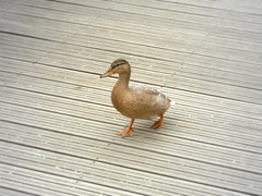 Lonely Duck (mnadi) Tags: bridge cute bird animal wooden duck funny beams duckies duckie