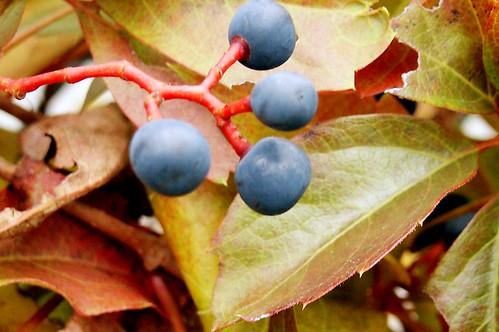 virginiacreeper vine leaves red autumn berries turning stem zip02451