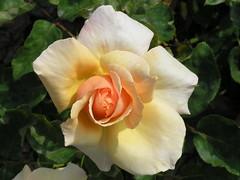 Nice white yellowish pinkish flower. (MiRea) Tags: ontario canada flower nature mirea harrow notpicked 0409040062 scoreme mireasrealm hitmissmaybe