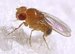 Fruit fly (Drosophila melanogaster, male) - by Max xx