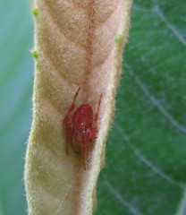 Little Red Spider (Mr. Greenjeans) Tags: life red brown macro green nature leaves closeup catchycolors insect ilovenature spider leaf beige little small x tiny hiding mrgreenjeans gaylon gaylonkeeling