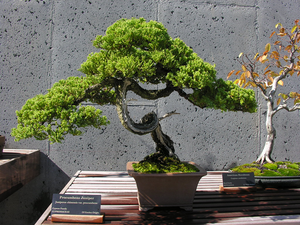 Procumbens Juniper Bonsai.