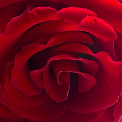 From an open window the light curls the petals (Andrew Morrell Photography) Tags: rose red flower cliche texture love wow 15fav 510fav
