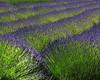 Lavendar fields forever (Belltown) Tags: nature landscape outdoors scenic olympicpeninsula sequim lavendar interestingness429 explore26oct05 i500