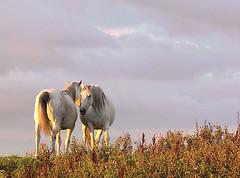 Whispering Horses (beyond the pale) Tags: ireland sunset horse field ilovenature topf50 topf75 couple dusk deleteme10 topv1111 topv999 brush valentine 500v50f saveme9 mostfavorited topv777 top20horsepix topf100 equestrian pick10 donegal irlanda irlande 750uz 82points mireasrealm 1500v60f utatafeature fivestarsgallery olympus750uz cotcmostfavorites top20ireland top20irelandhalloffame firsttheearth world100f cyspecialchallengewinner limerickcameraclub