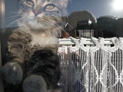 discovering the window... (arny johanns) Tags: pet cats pets white window animal animals cat paw kitten gray kitty paws grays catsandwindows