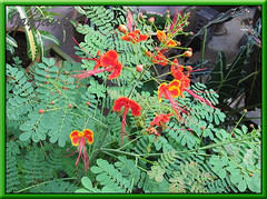 Caesalpinia pulcherrima (Peacock flower, Pride of Barbados, Red Bird-of-Paradise) in our garden October 2005