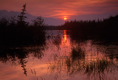 Yukon Sunset (storm light) Tags: trees sunset film crimson silhouette reflections evening shadows velvia yukon wetlands bog spruce midnightsun boreal borealforest blackspruce drunkentrees