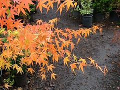 Japanese Maple 3 (Pixie Dust) Tags: japanesemaples kenwood valleyofthemoon wildwoodfarmtreenursery fallcolor