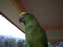 bird parrot panama volcan chiriqui