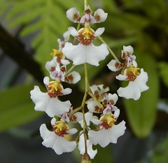 Tolumnia buringumensis (Brujo) Tags: orchid tolumnia orchidaceae flower white