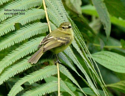 Yellow Tyrannulet (Capsiempis flaveola) by mountainpath2001.
