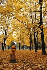 yellow hydrant (Shreyans Bhansali) Tags: toronto canada fall leaves yellow hydrant highpark colours