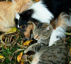 Who says we can't all get along? (hugsRgood) Tags: autumn music dog cats pets fall dogs leaves animals cat wow lyrics furry october 500v20f song tabby sheltie kitty charlie rufus mostfavorited bella iluvmydogfav shetlandsheepdog shelties catanddog shetlandsheepdogs hugsrgood 1000v40f cat1000