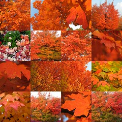 so very orange (mimbrava) Tags: autumn orange topf25 leaves topv111 collage catchycolors ilovenature interestingness maple interesting topv555 topv333 bravo seasons mosaic topv1111 topv999 7 c15 explore mimbrava acer 7d topv777 4autumn ornage exploretop20 setexplorepage setkudos setmyfavorites setflickrfavorites setmosaics setcatchycolors setmy20topfavedphotos setautumn2005 set64intop5003 setplantsleavesrootsbudstreesfruitmushrooms plantabillion