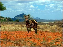 Facette_Sauvage (Christine Lebrasseur) Tags: africa travel blue sky horse orange brown france tree art animal animals clouds canon landscape hp poetry kenya quote wildlife bordeaux zebra tsavo savanna r707 tanamountain top20travelpix allrightsreservedchristinelebrasseur gettylicensed
