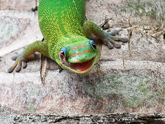 Hygiene (konaboy) Tags: green nature animal topv111 tongue closeup mouth ilovenature hawaii interestingness reptile critter lick palm eyeball manila gecko hygiene inyourface greenthing 8441c 10mmextensiontube specanimal animalkingdomelite