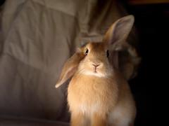 Don't you like me? (Sjaek) Tags: pet cute rabbit bunny sweet konijn fluffy pip