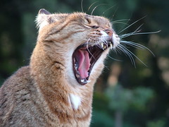 Scream for me... (Chiarina) Tags: cat scream florence boboli tuscany happyness joy tongue