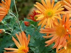 I'm not normally a mum lover... (FlowrBx) Tags: autumn flower fall d50 interestingness blossom bestviewedlarge mum 70300mmf456g chrysanthemum bolero flowrbx dendranthema i500 interesingness267