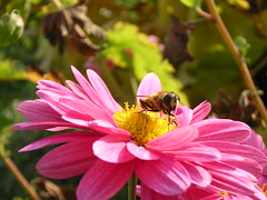 Bee (sasa44) Tags: autumn jesen flower bee blossom ebela cvet