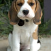 Bonnie the Beagle