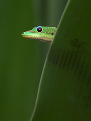 Nobility (konaboy) Tags: green nature ilovenature hawaii interestingness topv333 critter bestviewedlarge gecko madagascar themetinythings 8526b reflectionofpete animalkingdomelite