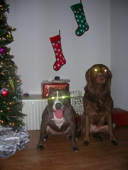 Demon dogs.... (NiteLynx) Tags: pearlbella findleastinteresting christmas xmas tree christmastree glowing glowingeyes stocking stockings presents dog dogs canine canines labrador labradors staffie staffies