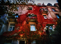 back to mine (maxivida) Tags: pink red house topf25 ivy sunny karlsruhe maxivida patches 500v50fav gottesauerstr 30faves30comments300views