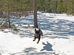 Super Rotty !! (iJohn) Tags: winter dog snow dogs jump squirrel novascotia play run rottweiller flyinganimals