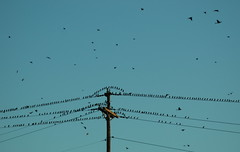 Grackles (Citizen Rob) Tags: dallas texas grackles