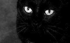 Sheba's Eyes (disneymike) Tags: california blackandwhite pet cat nikon d100 nikkor sheba murrieta