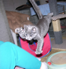 One Last Leap! (Bubba Trout) Tags: cute tag3 taggedout cat 100v interestingness top20animalpix kitten tag2 tag1 play kittens 10f foster hemi allrightsreserved top20cats i500 allrightsreserved interestingness1500 3waychallenge 3wc
