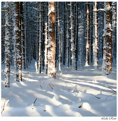 Blue forest (Lida Rose) Tags: lidarose blue snow winter trees forest woods woodlands pines shadows gutentag nature natur ilovenature seasons topf25