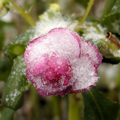Schneeblume (Gertrud K.) Tags: pink flowers winter snow taggedout balcony impatiens balsaminaceae