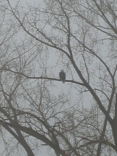 Possible Eagle Sighting, Richfield, MN