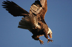 Aerial Attack (Protection Island) Tags: wow eagle dive attack baldeagle aerial raptor haliaeetusleucocephalus had2citagain