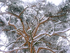 Old Gold Pine (noviKorisnik) Tags: winter snow tree topv111 tag3 taggedout pine gold tag2 tag1 branches 111v1f 69points scoreme39 judgmentday54
