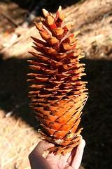 Giant Spruce Cone (Jesper Grenaa Eilertsen) Tags: sprucecone