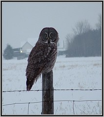 Great Grey Owl...dark descends (Aegolius) Tags: greatgreyowl stixnebulosa owl ottawa ontario canada greatgrayowl strixnebulosa
