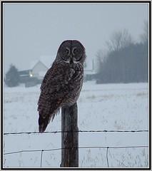 Great Grey Owl...dark descends (Aegolius) Tags: greatgreyowl stixnebulosa owl ottawa ontario canada greatgrayowl strixnebulosa