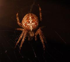 Big Hairy Spider (Josh Thompson) Tags: freeassociation night d50 spider 55200mmf456g nikoncapture