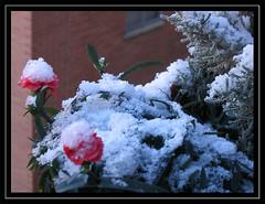 detalle de la nieve (_Zahira_) Tags: pink white snow flower blanco lafotodelasemana nieve flor rosa nd nr ngr 100vistas