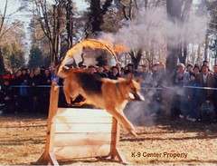 dog dogs training puppy drag puppies europe czech shepherd police security german breeding ddr obedience protection malinois explosive k9 bloodlines gsd cannel detektion narkotic