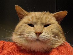 Cream, the Orange Cat (Pixel Packing Mama) Tags: beautiful tag3 taggedout niceshot superb lovely1 great adorable whiskers mycats greatshot catsandkittensset catscatscats ilovemycat furryfriday fabulous omg cateyes nuggets greatpix cutecat snapgame magnificent allanimals orangeisacolourthatissafeandalive artnolimits orangygoodness aesthetics glamourcatmagazine favview5 catlovers heartlandhumanesociety v1000 petparade beautifulcats familyfurrythingsorboth pixelpackingmama meowscollectors animalcloseups taggedoutthegraduatesofletsplaytag dorothydelinaporter taggedoutandproudofitset canonpowershota510a520 20faves worldsfavorite everybodywantstobeacat interestingness107 i500 views1000 beautyisintheeyeofthebeholder melfanclub favoritedpixset supercatsunited 20commentsanduppool furryfunblogspotpostedthispicture oreengeness spcacatspool cc1250 catskittensthatarenowonorwereoni500flickrexplore 10favoritescats bestofcats creamsiclescatsandkittens 30favoritescats buffwonderland thebiggestgroupwithonlycats invitedbyoneormoreiconstojoingroupsset commentedwithanicondirectorygroup cbat pixwithexclamationpointsincommentsset cat1250 gingercatspool buffcreamcreamsicleorangetabbytanbeigegingercatsset update4sure update4sureset over4700000aggregateviews