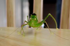 jiminy cricket! aka fauzi belalang (POCKET_ROCKET) Tags: macro green nature tag3 taggedout insect eyes funny tag2 tag1 malaysia lookatme grasshopper klexpo frasershill 72points interestingness110 i500