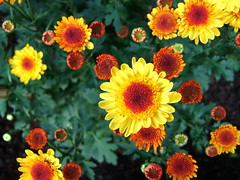 Small yellow fireworks (Mr Wabu) Tags: flowers wallpaper orange macro green yellow tag3 taggedout catchycolors hongkong tag2 tag1  oceanpark 1on1 555v5f 333v3f 222v2f 444v4f 111v1f 50v5f 777v7f 1on1halloffame oxborrownet cotcbestof2006
