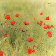 Amapolas en el campo (Jabi Artaraz) Tags: flores flower primavera campo zb loreak udaberria amapola euskoflickr mitxoleta jartaraz
