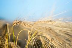 barley (kuuan) Tags: ltm field barley canon lens austria bokeh feld mf manualfocus 1550 serenar sonnar gerste mostviertel m39 f1550mm canonltmf1550mm canonm39f1550mm